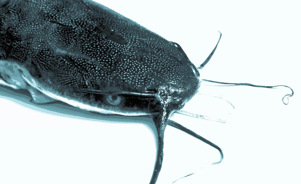 catfish suomeksi